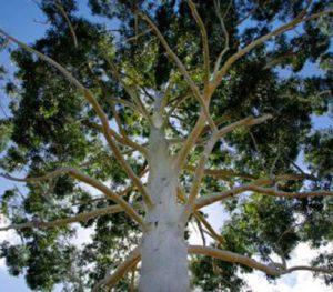 Klimaneutral-Projekte Tankkarte Energie Direct Eukalyptus